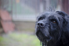 Old black drooling dog Royalty Free Stock Images