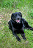 Old black lab. An old black lab with grey whiskers, rest in the green grass Stock Photo