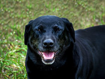 Old black lab portrait Royalty Free Stock Images