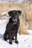 Old Black Lab Sits in a Snowy Field. Old graying black labrador retriever sits in a snowy field awaiting the hunt Stock Images