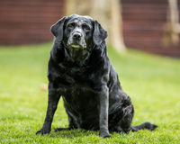 Old black labrador Stock Images