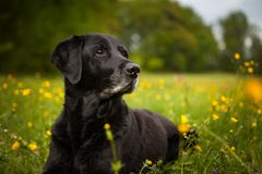 Black Labrador portrait in the spring flowers stock photography