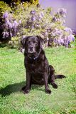 Old black labrador retriever sitting outdoors in yard. Senior black labrador retriever sits calmly in backyard with green grass and a vine of wisteria flowers Royalty Free Stock Photography