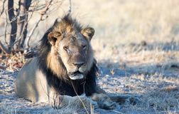 Scarred old black maned lion resting under a tree in Hwange National Park, Zimbabwe. Old black maned lion with a scarred face- locally known as Norris- resting royalty free stock photos
