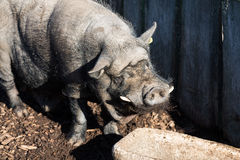 Old black pig Stock Photography