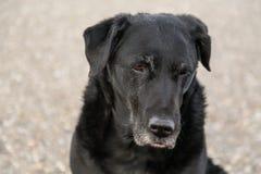 Old black stray dog headshot stock photography