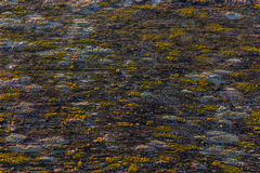 Old black wood with yellow lichen background with selective focu Royalty Free Stock Images