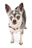 Old Blind Chihuahua Dog Royalty Free Stock Image