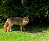 Old Blind Fox Royalty Free Stock Image