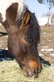 Old, blind horse eating hay. Old, blind, piebald horse eating hay Stock Image