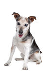 Old and blind jack russel terrier Stock Images