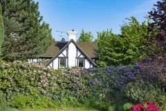 Half-timber house behind huge flowering rhododendron hedge Stock Photo