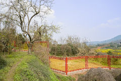 Old blossoming tree by trail before fenced farmland Royalty Free Stock Image