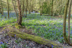 Old Bluebell Wood Royalty Free Stock Photo