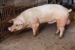 Old boar. Landrace breed. See my other works in portfolio Stock Photo