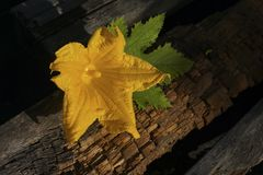 Old boards with a bright yellow pumpkin flower royalty free stock image
