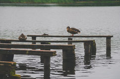 On the old boards of the jetty on the lake are sitting ducks Royalty Free Stock Photography
