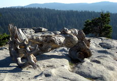 An old bole in Yosemite National Park Stock Image