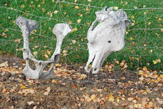 Old bones. Head and hip bones decaying on fence royalty free stock photos