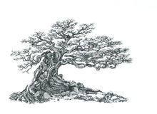 Old bonsai. Pen drawing. Illustration of dry wood Royalty Free Stock Image