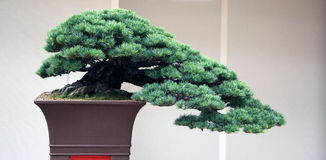 Old bonsai from pine tree Royalty Free Stock Image