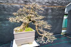 An old bonsai tree Stock Photo