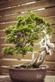 Old bonsai tree in a  flower pot Stock Images