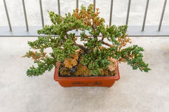Old bonsai tree growing Stock Photography