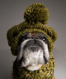 Old boxer dog Stock Image