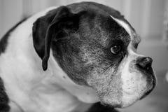 Old Boxer Dog Royalty Free Stock Photos