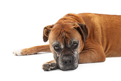 Old Boxer Dog Looking Sad Stock Photos