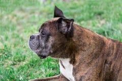 Old boxer dog lying Stock Images