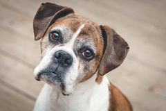 Old Boxer Dog. Pet Boxer Dog 9 Years Old Sitting on Wooden Deck royalty free stock photo
