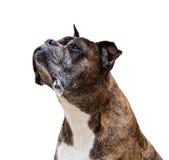 Old boxer dog Royalty Free Stock Photo