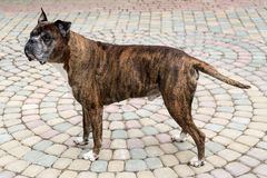 Old boxer dog Royalty Free Stock Image