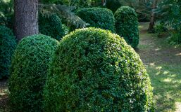 Old Boxwood Buxus sempervirens or European box in landscaped summer garden. Trimmed green boxwood bushes immediately after cutting