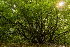 Old branched tree with sunlight in the background. Wood landscape Stock Images