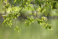 Old branches and new leaves. Water willow old branches and new leaves, hazy green background Royalty Free Stock Images