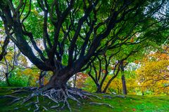 Old tree at Missouri Botanical Garden. An old branching tree at the Missouri Botanical Garden, USA royalty free stock photo
