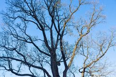 Old branchy tree without foliage Stock Photos