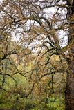 Old branchy twisted tree with yellow foliage. An old high branching deciduous tree with crooked twisted branches with yellowed dried foliage, like a symbol of royalty free stock photos
