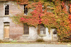 Old brick building covered in ivy Royalty Free Stock Photo