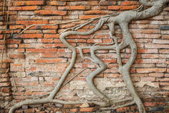 Old brick wall with banyan tree root royalty free stock photos