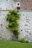 An old Brick wall covered in Ivy. An old brick wall covered in green Ivy, an antique metal lamp hanging next to a small window stock photography