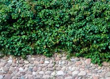 Old brick wall covered with plants royalty free stock image
