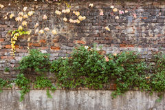 Old brick wall covered with yellow ivy and green plants Royalty Free Stock Images