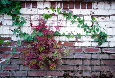 Old brick wall with curling ivy Stock Photos