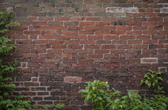 Old brick wall with foliage. Background image of old Tudor brick wall framed by foliage to left and at base Stock Photography