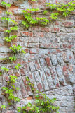 Old brick wall with green ivy Royalty Free Stock Photos