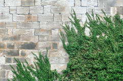 Old brick wall with green ivy growing up. Front view Royalty Free Stock Photo